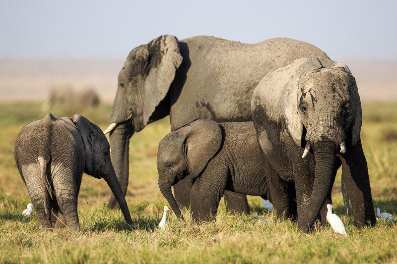 עדר פילים במורת אמבוסלי, קניה - Wild Travel