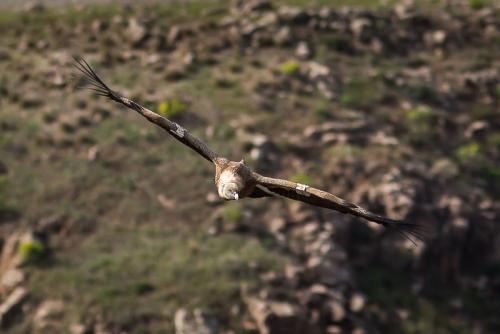 נשר מקראי בגמלא - סדנת צילום טבע - Wild Travel
