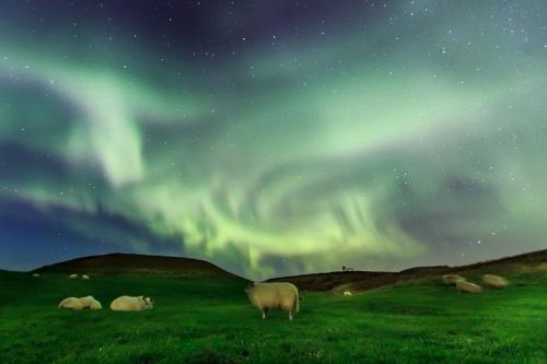 כבשה איסלנדית עם זוהר צפוני באיסלנד - Wild Travel