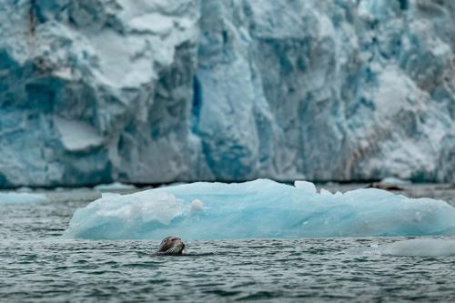 כלב ים משופם מציץ ליד קרחון, שפיצברגן - Wild Travel