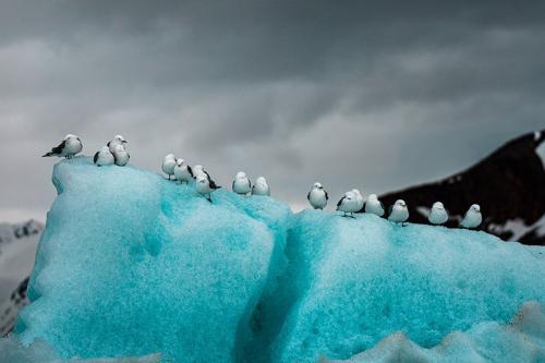 שחפים על קרחון, שפיצברגן - Wild Travel