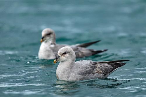 שחפים ארקטים בים הקרח הצפוני, שפיצברגן - Wild Travel