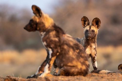 זאב טלוא בשמורת ארינדי, נמיביה - Wild Travel