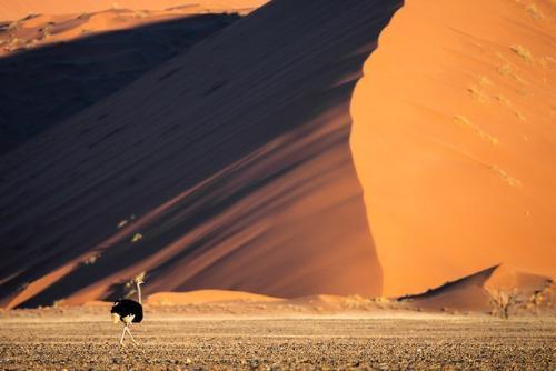 בת יענה בדיונות של סוסוסוולי במדבר הנמיב, נמיביה - Wild Travel