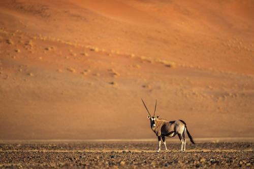 ראם בדיונות של מדבר הנמיב, נמיביה - Wild Travel