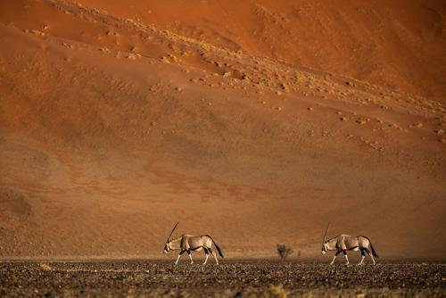 ראמים בדיונות של מדבר הנמיב, נמיביה - Wild Travel