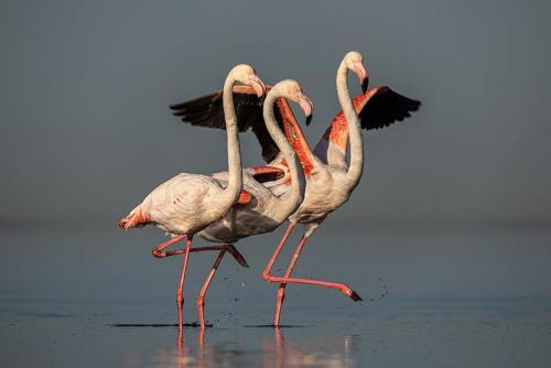 פלמינגו בבריכות המלח, נמיביה - Wild Travel