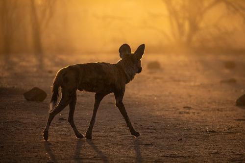 זאב טלוא ליד בור מים בשמורת אטושה, נמיביה - Wild Travel