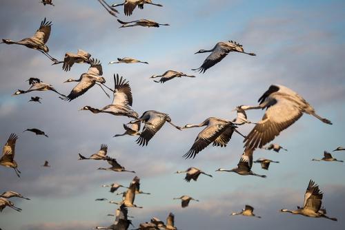 צילום טבע - עגורים באגמון החולה - Wild Travel