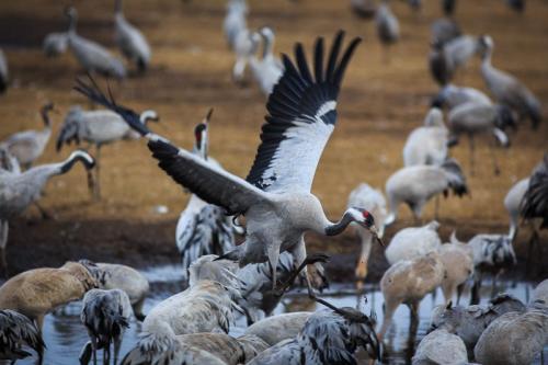 צילום טבע - אלפי עגורים באגמון החולה - Wild Travel