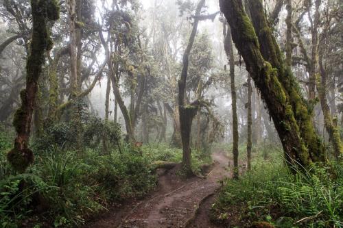 יער הגשם ליד שער מרנגו בדרך לקילימנג'רו - Wild Travel