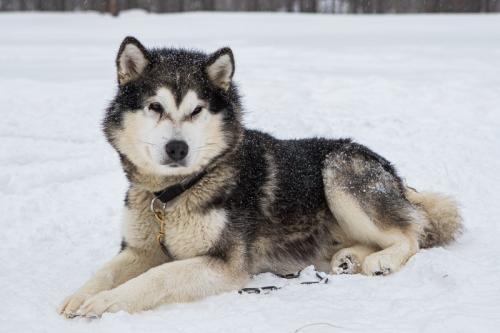 כלבי האסקי בלפלנד - Wild Travel