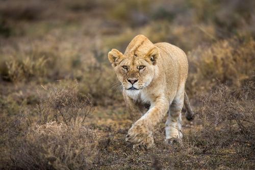 לביאה מתגנבת בזמן צייד, סרנגטי טנזניה - Wild Travel