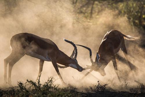 זכרי טומפסון בקרב, סרנגטי טנזניה - Wild Travel