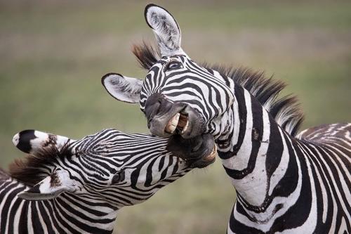 זברות בסוואנה האפריקאית, טנזניה - Wild Travel