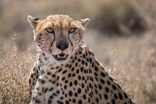 צ'יטה לאחר צייד בנדוטו, טנזניה - Wild Travel