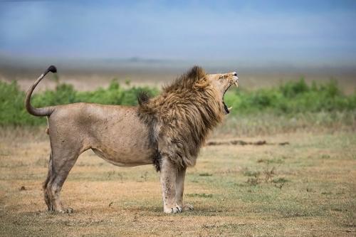 אריה זכר בסרנגטי, טנזניה - Wild Travel