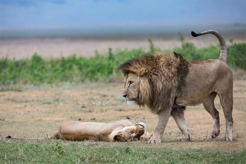 אריה ולביאה בסרנגטי, טנזניה - Wild Travel