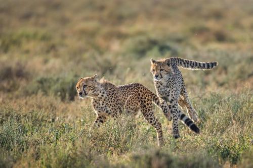 צ'יטות צעירות משחקות בעונת ההמלטות, אגם נדוטו טנזניה - Wild Travel