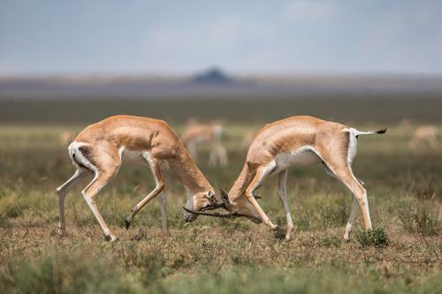 זכרי טומפסון בקרב בסוואנה האפריקאית, טנזניה - Wild Travel
