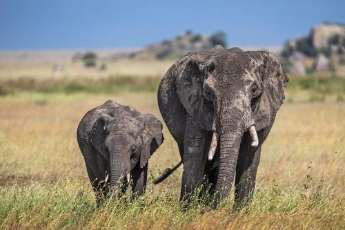 פילים בסוואנה האפריקאית, טנזניה - Wild Travel