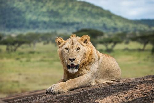 אריה זכר - סרנגטי, טנזניה - Wild Travel