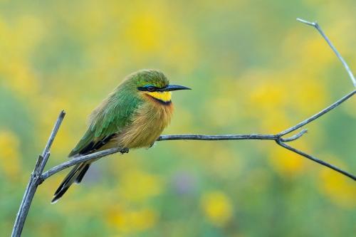 שרקרק גמדי על ענף - טנזניה - Wild Travel