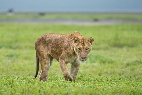 לביאה לאחר הגשם, סרנגטי טנזניה - Wild Travel