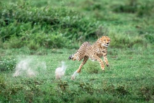 צ'יטה במרדף אחרי טרף בעונת ההמלטות בסרנגטי, טנזניה - Wild Travel