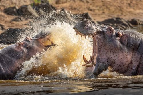 היפופוטם מסתער בבריכת מים בסרנגטי, טנזניה - Wild Travel