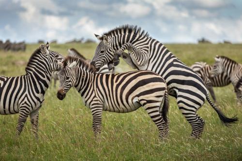 זברות בסרנגטי, טנזניה - Wild Travel