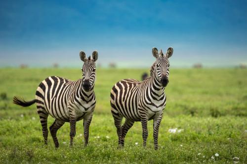 זברות על רקע הסוואנה בסרנגטי, טנזניה - Wild Travel