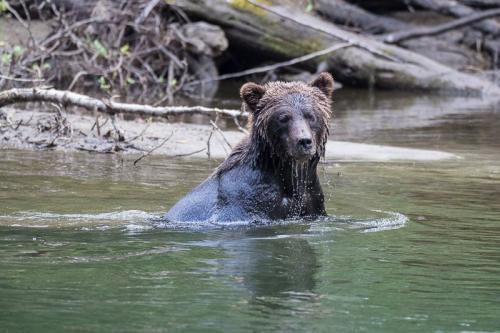 דוב גריזלי בבלה קולה, אזור הפיורדים של קולומביה הבריטית, קנדה - Wild Travel