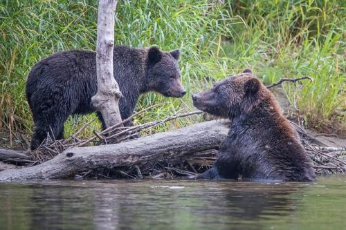 דובי גריזלי בבלה קולה, אזור הפיורדים של קולומביה הבריטית, קנדה - Wild Travel
