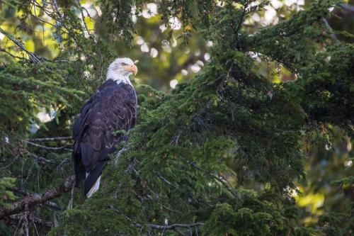 עיטם לבן ראש בבלה קולה, אזור הפיורדים של קולומביה הבריטית, קנדה - Wild Travel