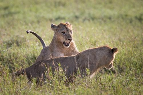 גורי אריות משחקים בסוואנה, טנזניה - Wild Travel