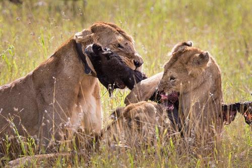 לביאות טורפות גנו צעיר בסרנגטי, טנזניה - Wild Travel