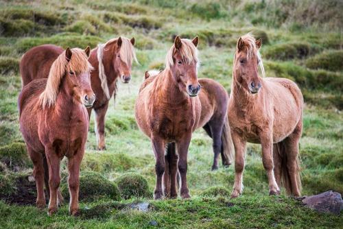 סוסים איסלנדים בצפון איסלנד - Wild Travel
