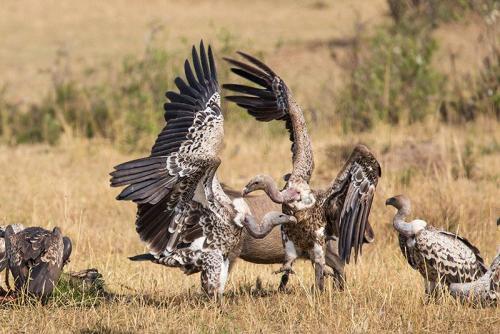 נשרים בסרנגטי, טנזניה - Wild Travel
