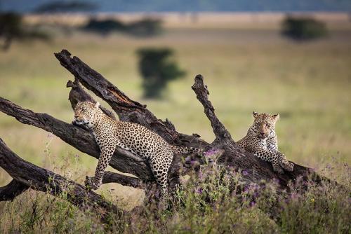 נמרים על עץ בסרנגטי, טנזניה - Wild Travel