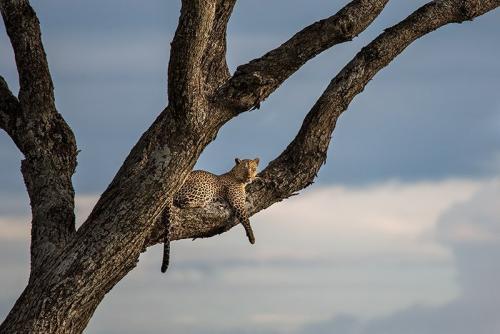 נמר על עץ בסרנגטי, טנזניה - Wild Travel