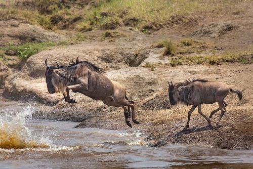 גנו קופץ לנהר, צפון הסרנגטי, טנזניה - Wild Travel