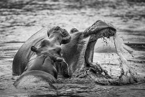 היפופוטמים באגם בקלדרת נגורונגורו, טנזניה - Wild Travel