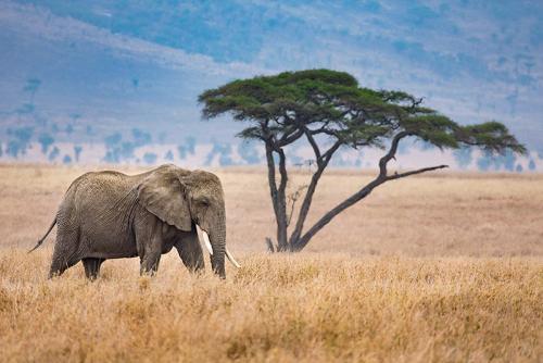 פיל צעיר בסוואנה האפריקאית, טנזניה - Wild Travel