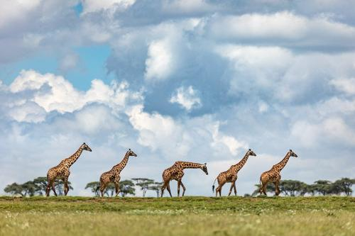 ג'ירפות על רקע הסוואנה האפריקאית, טנזניה - Wild Travel