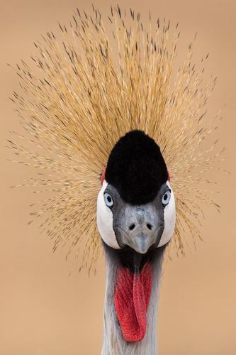 עגור מלכותי, טנזניה - Wild Travel