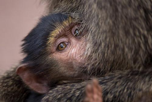 בבון תינוק יונק, סרנגטי, טנזניה - Wild Travel