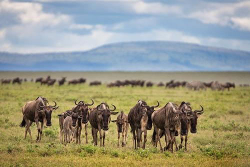 שיירה של גנו, הנדידה הגדולה, טנזניה - Wild Travel