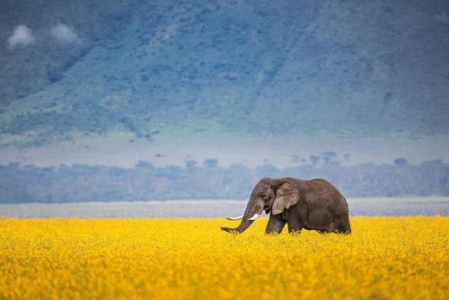 פיל בשדה חרציות, נגורונגורו טנזניה - Wild Travel