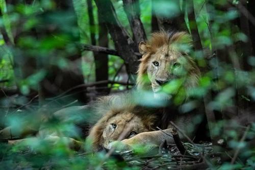 אריות ביער הגשם של שמורת מניארה, טנזניה - Wild Travel